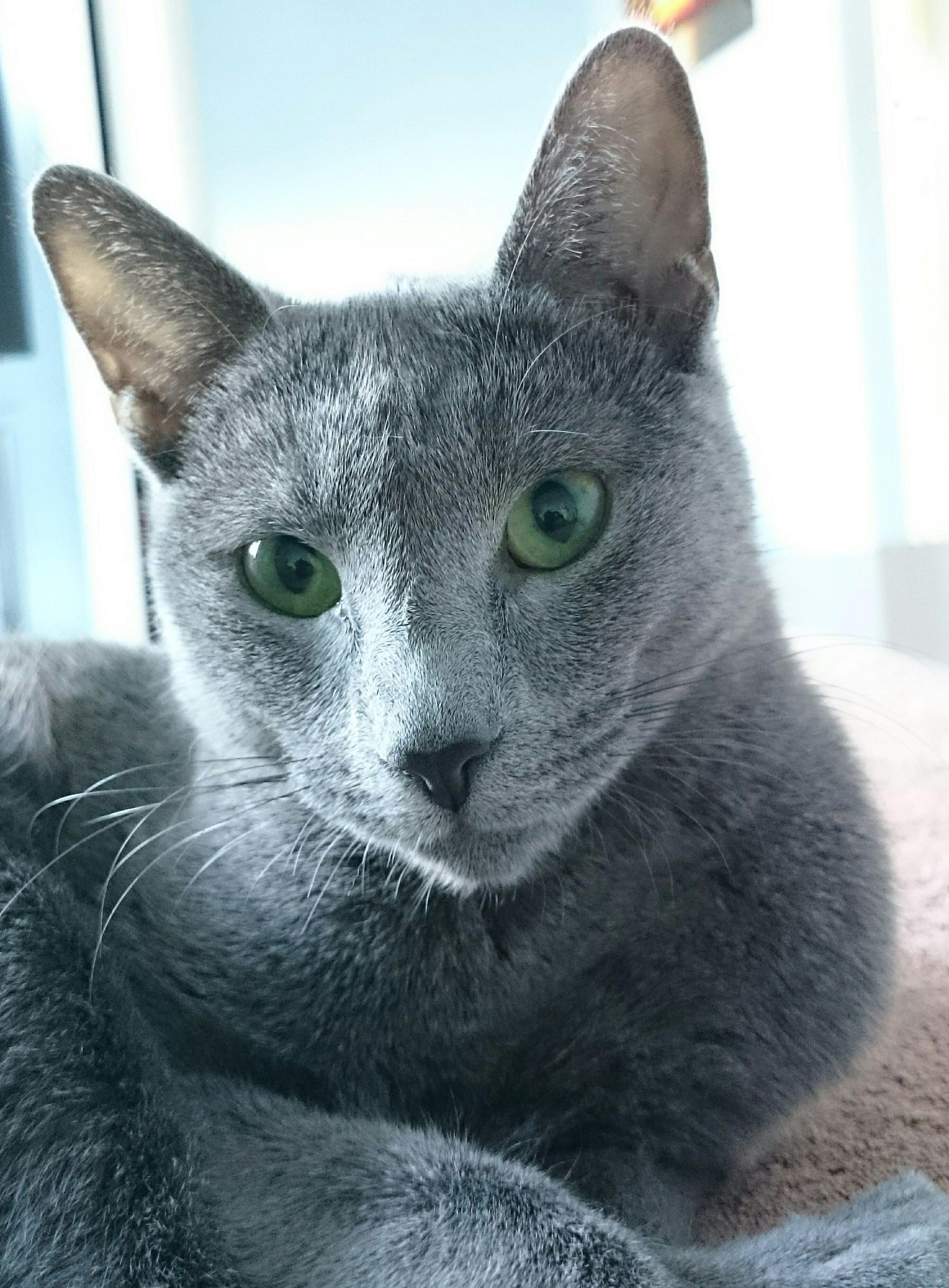 Sirimal Cat,CZ - Ruská modrá kočka